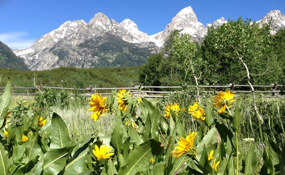 Yellow flowers in foreground, snow covered peaks in background
